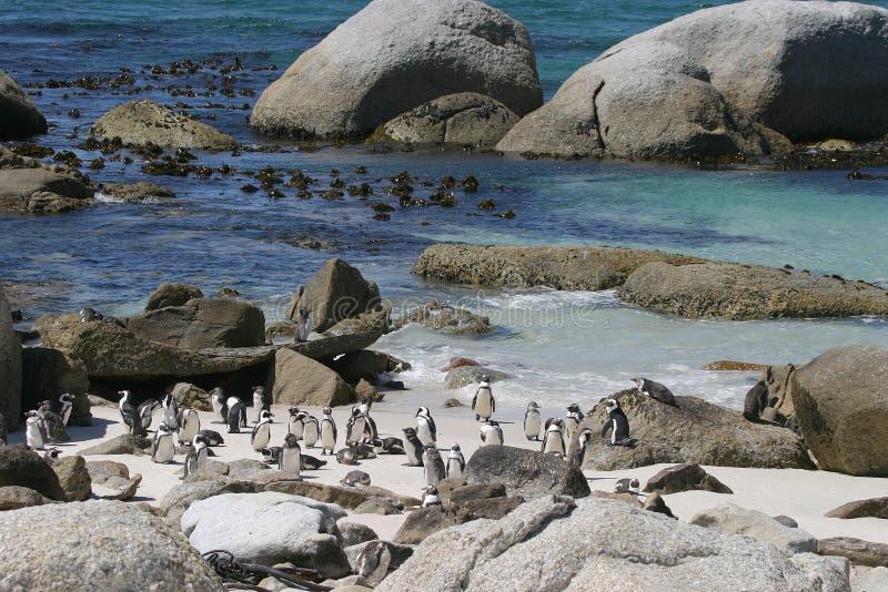 Pingouins à la plage de Boulder image libre de droits