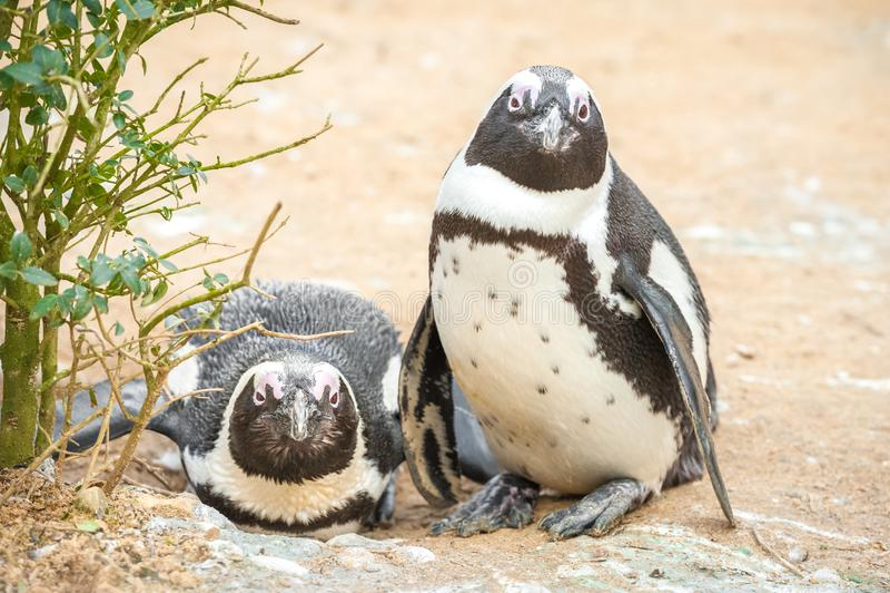Pingouins africains photo stock