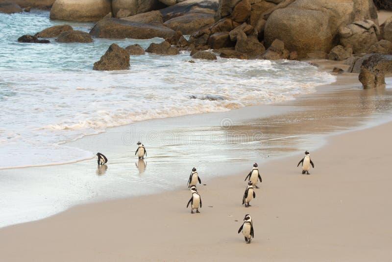 Pingouins africains sur le rivage images stock