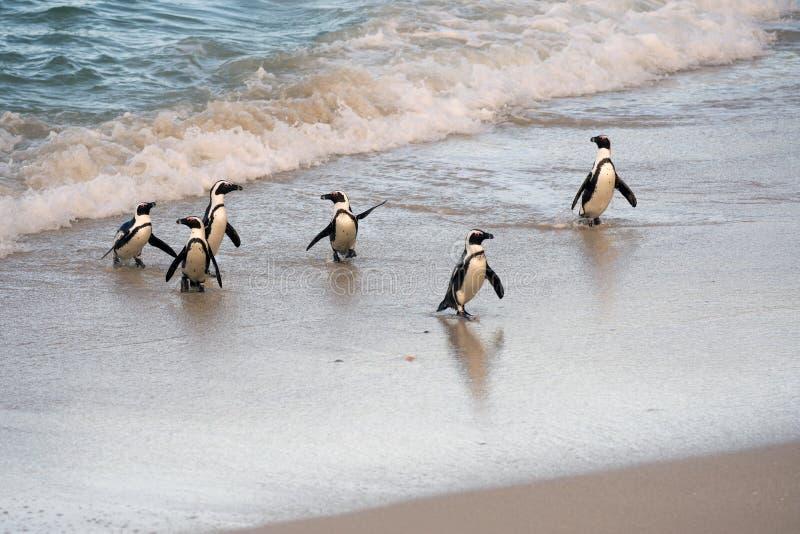 Pingouins africains sur le rivage photographie stock