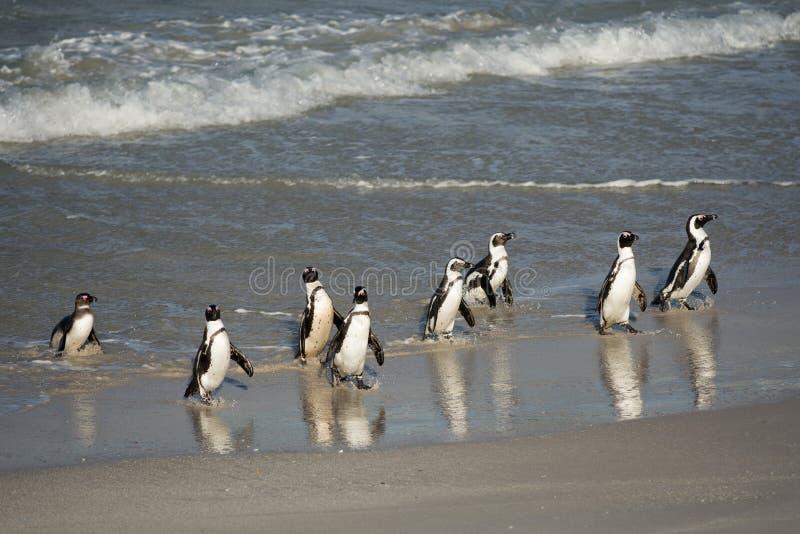 Pingouins africains sur le rivage image stock