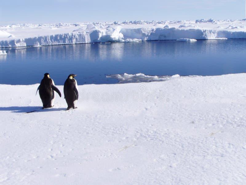Pingouins avec une vue photographie stock libre de droits