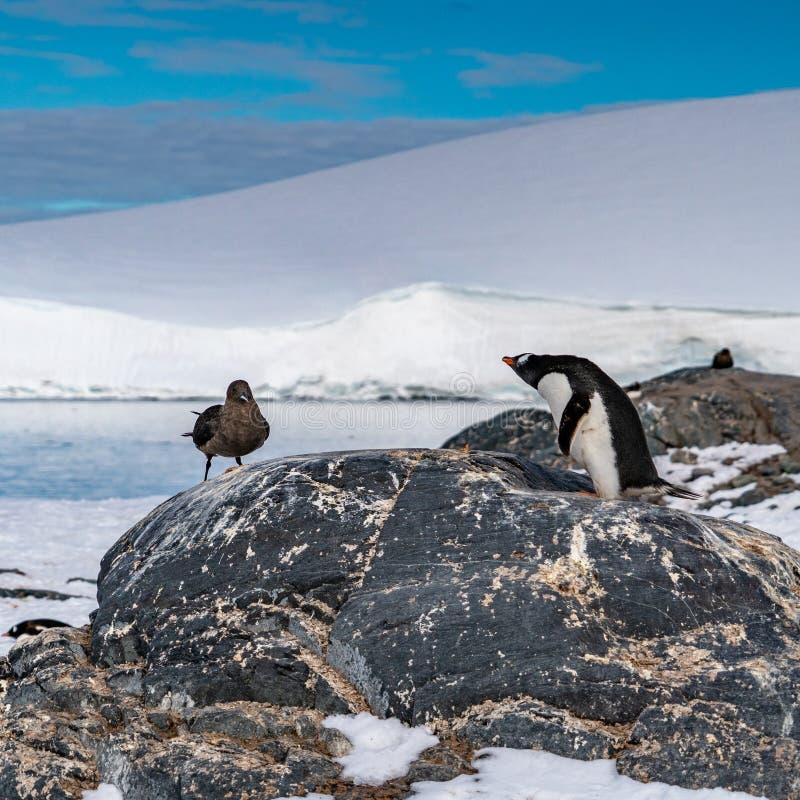 Pingouins contre la mouette en Antarctique image stock