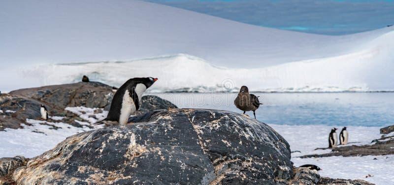 Pingouins contre la mouette en Antarctique photographie stock libre de droits
