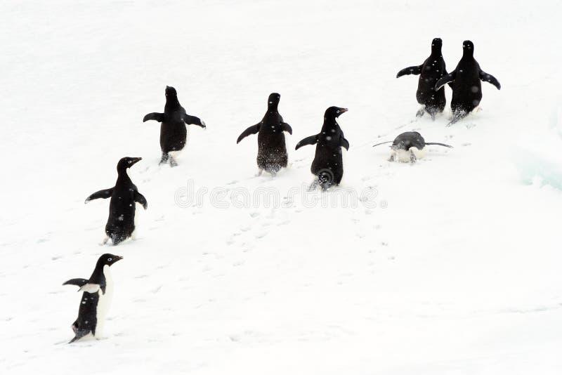 Pingouins d'Adélie fonctionnant sur la glace. photos libres de droits
