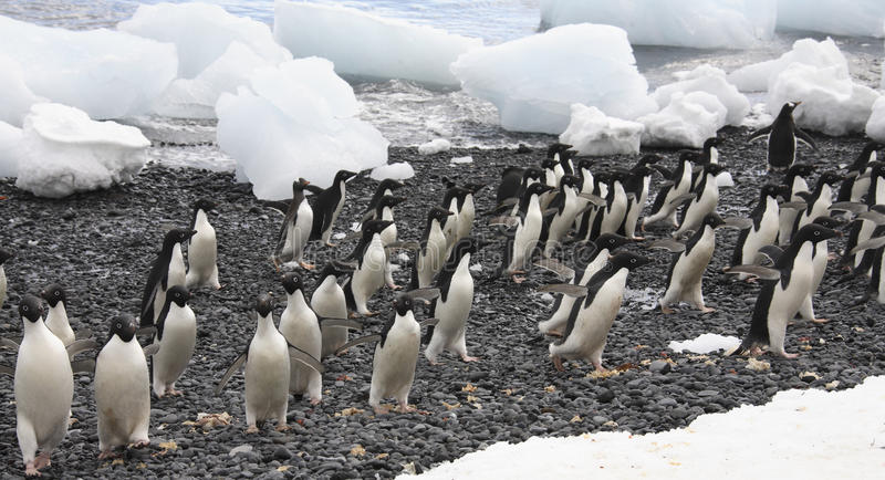 Pingouins d'Adelie - Antarctique photo libre de droits