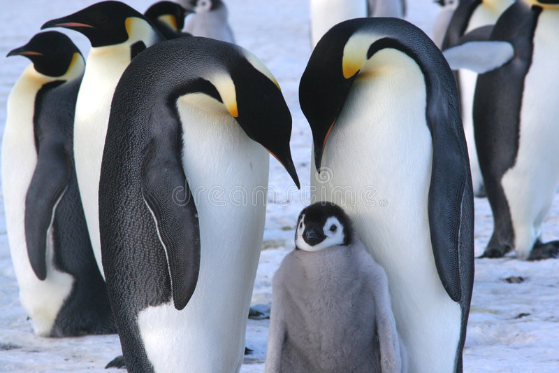 Pingouins d'empereur avec la nana image libre de droits