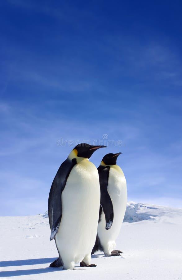 Pingouins d'Emporer image stock