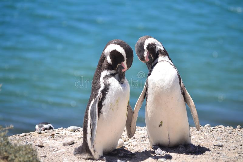Pingouins dans l'amour photo stock