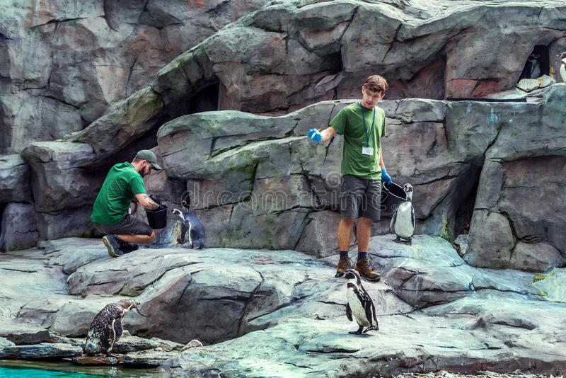 Pingouins de alimentation de personnel de zoo de Cracovie avec des poissons photos stock