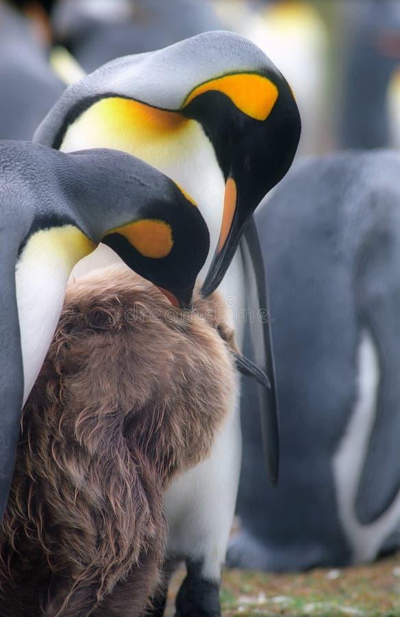 pingouins de famille d'empereur photos libres de droits