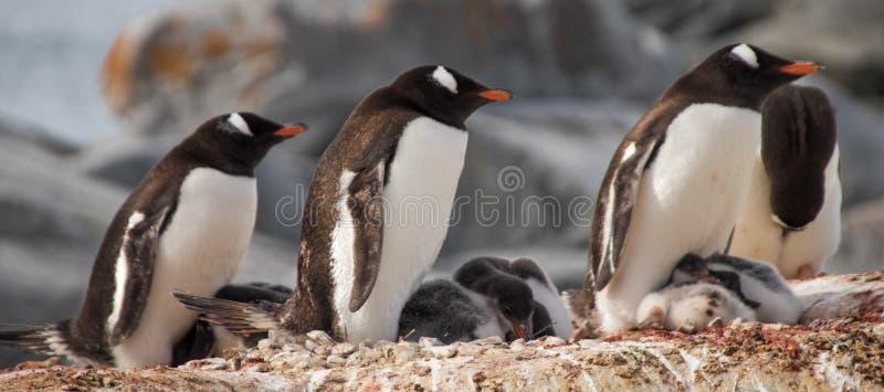Pingouins de Gentoo en Antarctique photo libre de droits