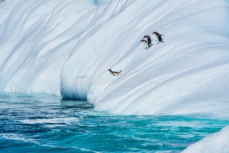 Pingouins de Gentoo sautant de l'iceberg en Antarctique photos stock