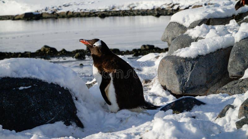 Pingouins de Gentoo sur l'île neigeuse de Wiencke en Antarctique photographie stock libre de droits