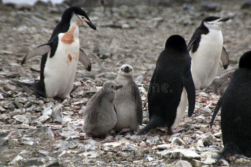 Pingouins de jugulaire avec des poussins image stock