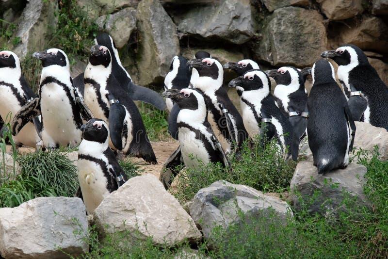 Pingouins de Magellanic photographie stock