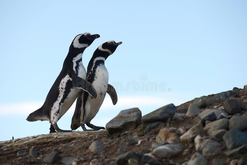 Pingouins de Magellanic au sanctuaire de pingouin sur Magdalena Island dans le détroit de Magellan près de Punta AR photos stock