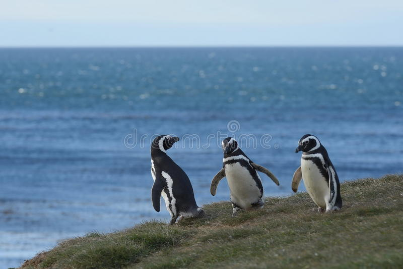 Pingouins de Magellanic au sanctuaire de pingouin sur Magdalena Island dans le détroit de Magellan près de Punta Arenas au Chili  photographie stock