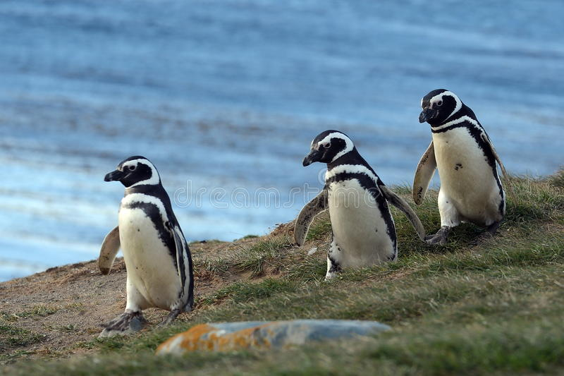 Pingouins de Magellanic au sanctuaire de pingouin sur Magdalena Island dans le détroit de Magellan près de Punta Arenas au Chili  image stock