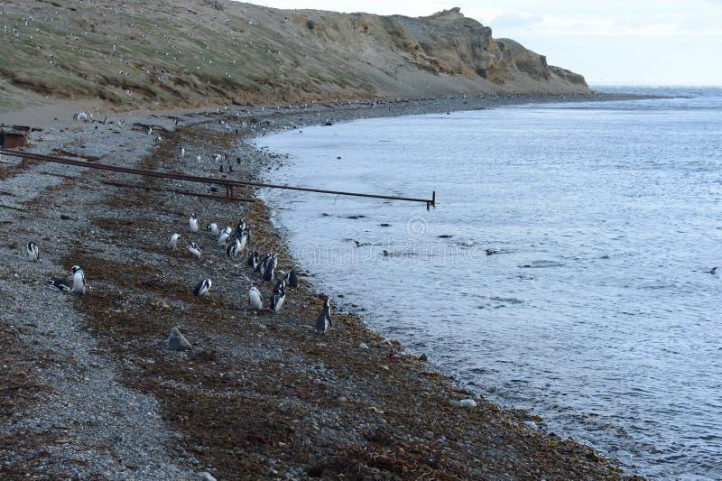 Pingouins de Magellanic au sanctuaire de pingouin sur Magdalena Island dans le détroit de Magellan près de Punta Arenas au Chili  photographie stock libre de droits