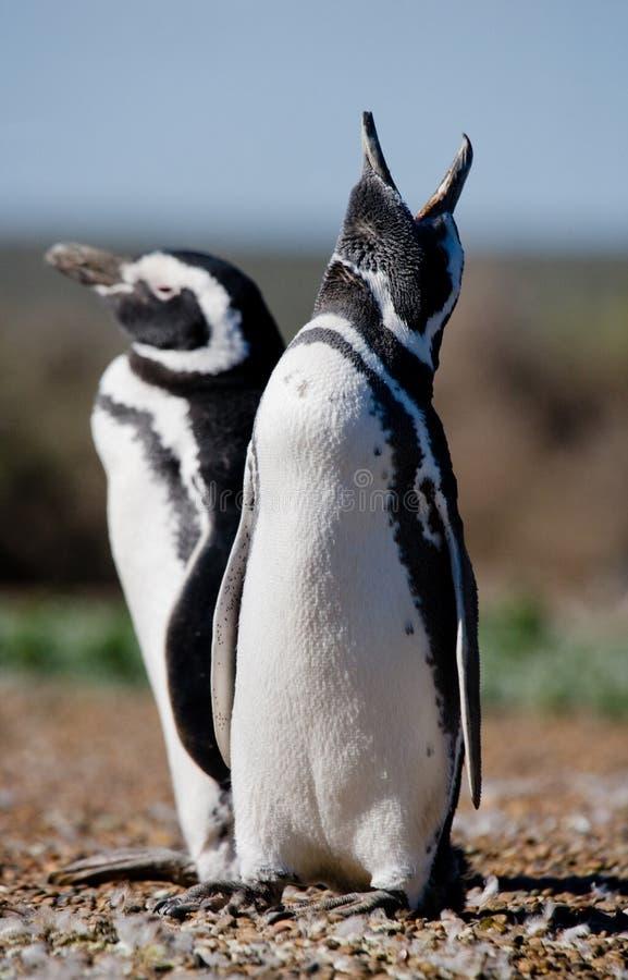 Pingouins de Magellanic dans la colonie Plan rapproché l'argentine Péninsule Valdes image libre de droits