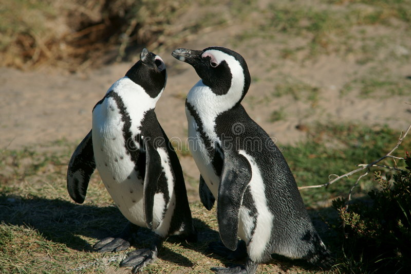 pingouins de paires photo stock