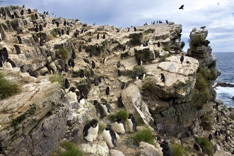 Pingouins de Rockhopper - île de caillou - Falkland Islands photo libre de droits