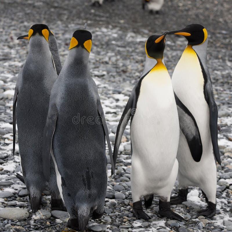 Pingouins de roi à la plage de Geogia du sud images libres de droits