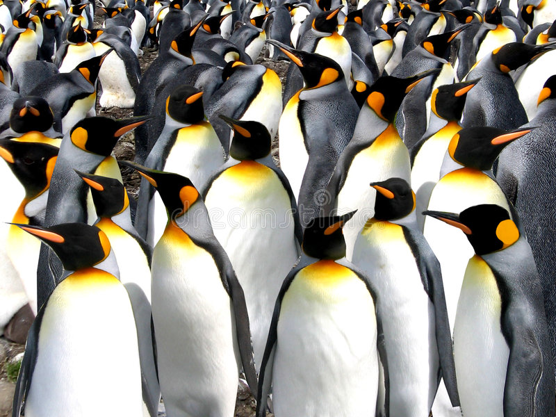 Pingouins de roi