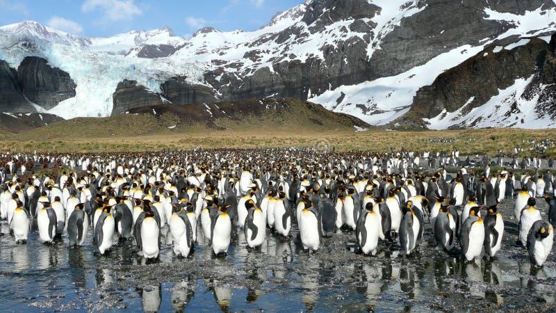 pingouins de roi image stock