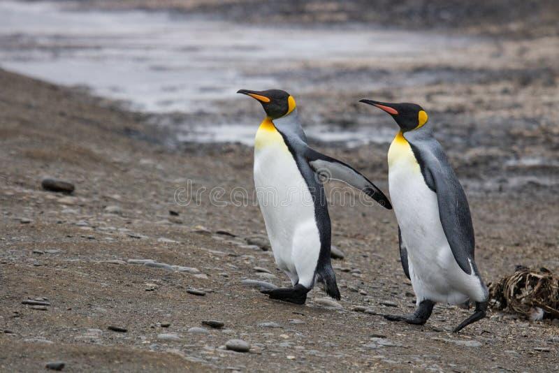 Pingouins de roi en Géorgie du sud photo libre de droits