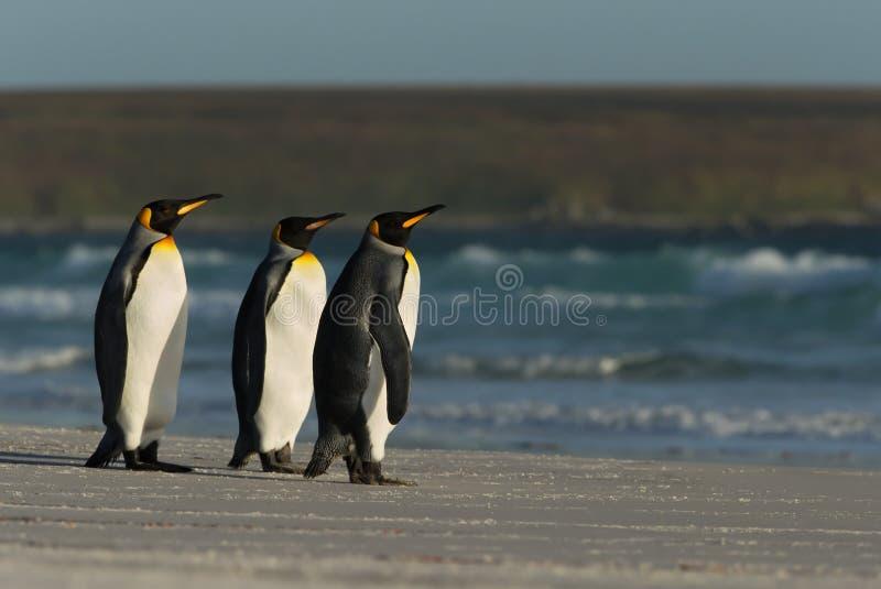 Pingouins de roi se tenant sur une côte arénacée à côté de l'océan bleu photos stock