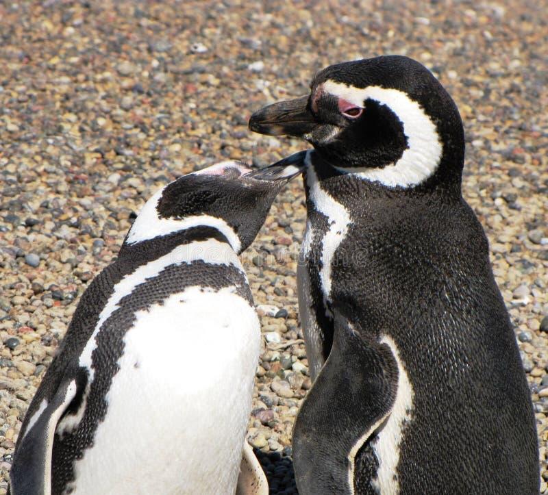 Pingouins embrassant dans Puerto Madryn, Argentine images libres de droits