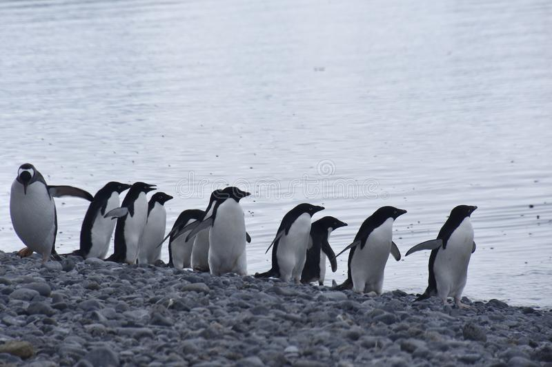 Pingouins en Antarctique photos stock