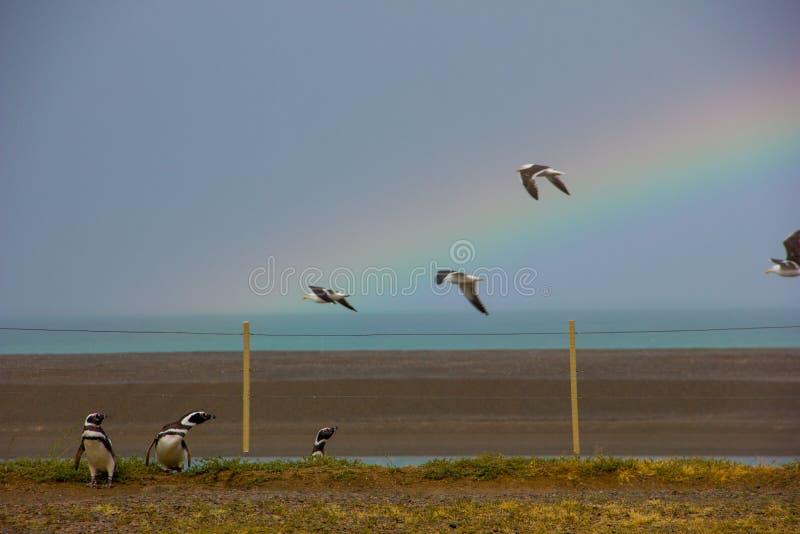 Pingouins et mouettes avec un bel arc-en-ciel photos libres de droits