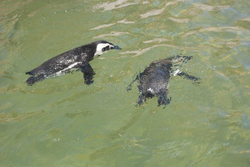 Pingouins nageant photographie stock libre de droits