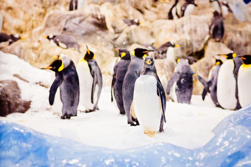 Pingouins noirs et blancs image libre de droits