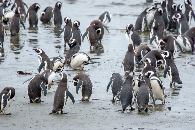 Pingouins se tenant sur le rivage au Chili photographie stock