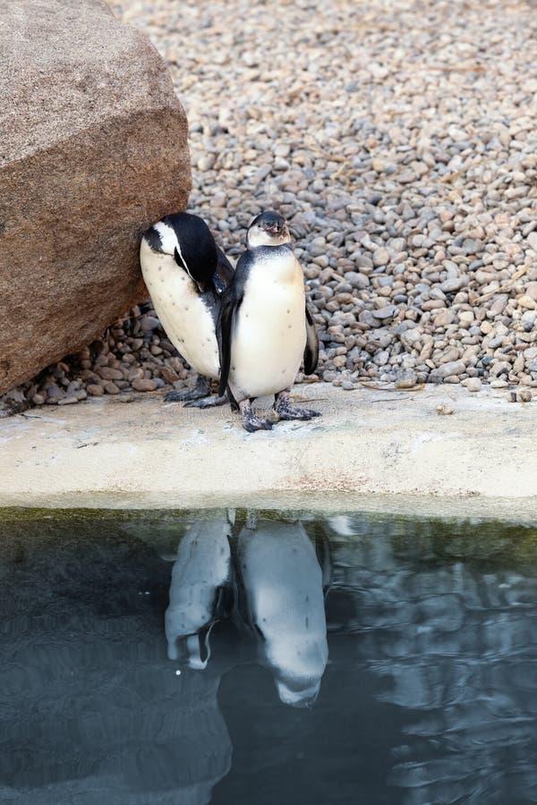 Pingouins sur l'eau photographie stock
