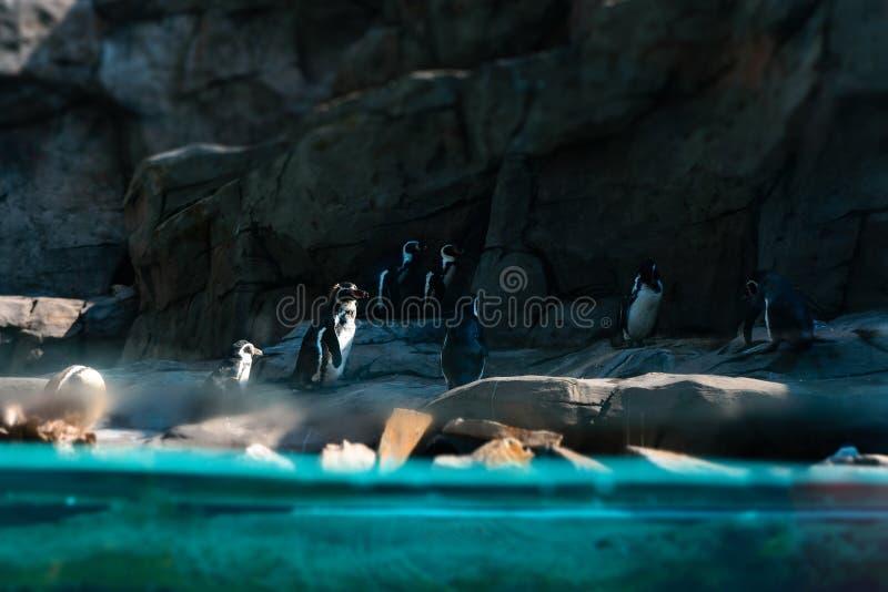 Pingouins sur un rivage rocheux, vue de dessous l'eau photographie stock