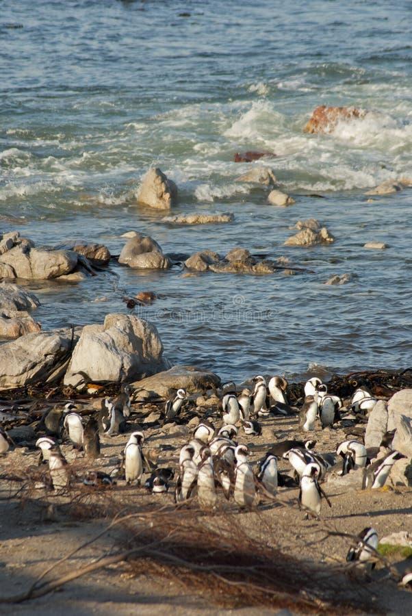 Pingouins sur une plage rocheuse photos libres de droits