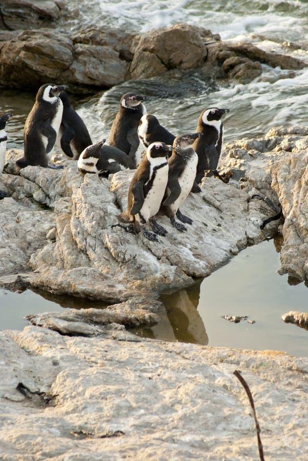 Pingouins sur une plage rocheuse photo libre de droits