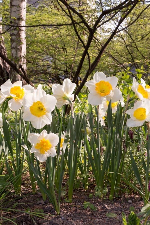 Pingstlilja påsklilja variation av påskliljor låter Amarylli daeceae Blommor i fj?der arkivfoto