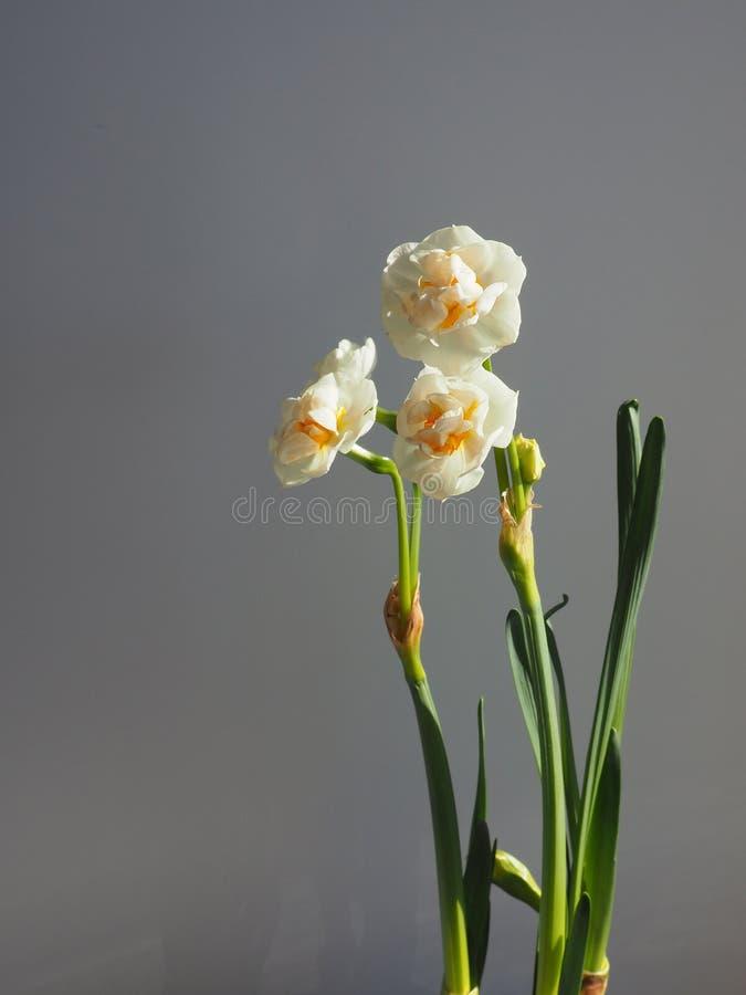 Pingstlilja som hemma blommar royaltyfria bilder