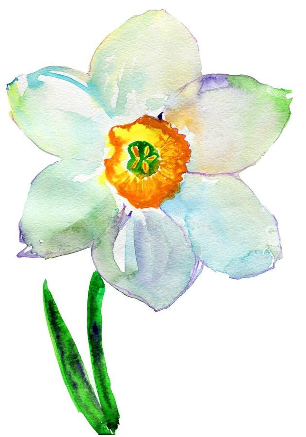 Pingstliljablomma. Vattenfärg stock illustrationer