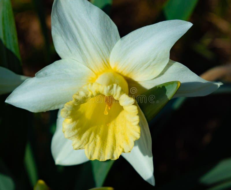 Pingstliljanaturflora arkivbild