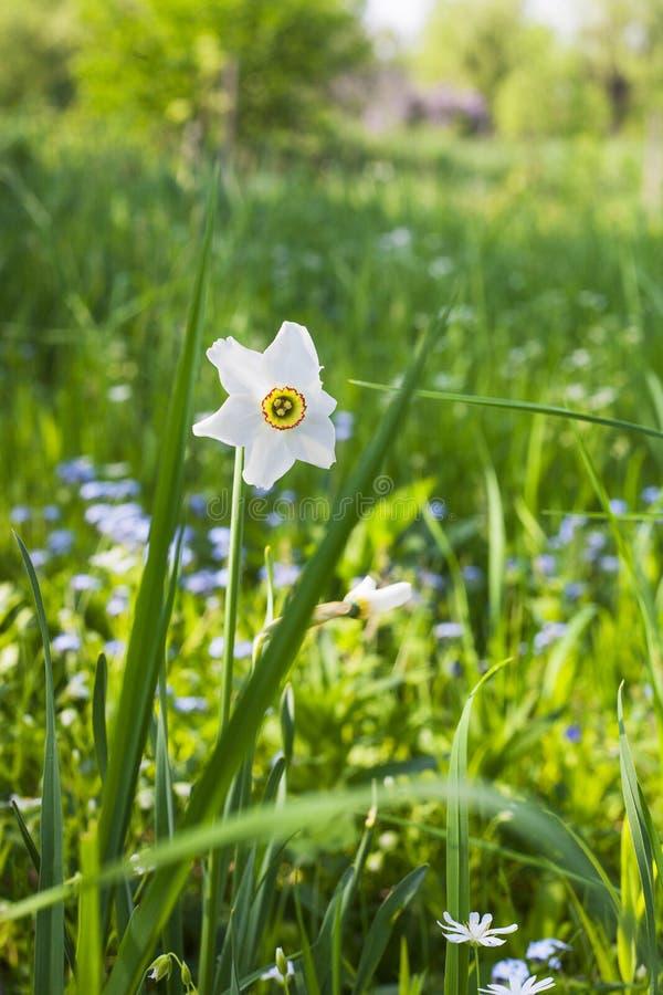 Pingstliljapoeticus eller vit blomma för påsklilja i vårträdgård arkivbilder