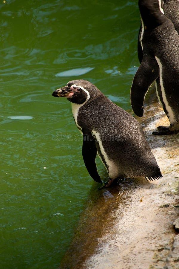 Pinguïn bij de dierentuin royalty-vrije stock afbeeldingen