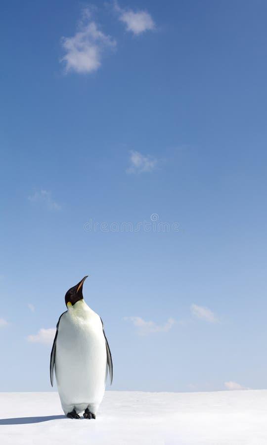 Pinguïn die omhoog eruit ziet