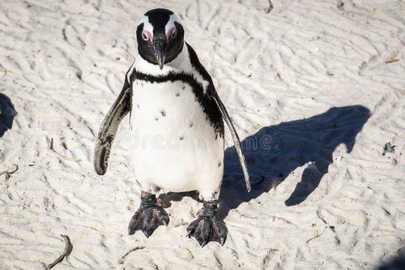 Pinguïn die zich op zand bevinden stock afbeeldingen